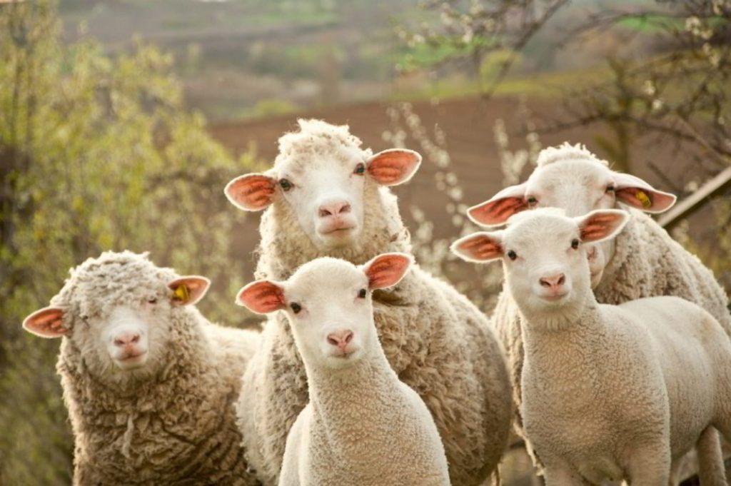 Cuidando tu ganado